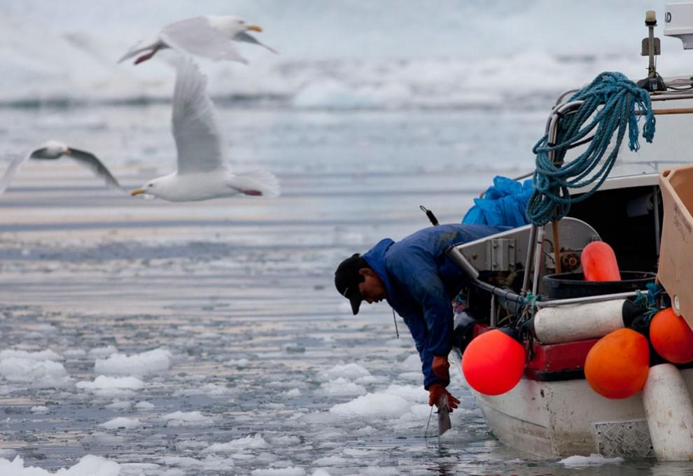 1688 990x680 Ледяная Гренландия...или уже не ледяная?