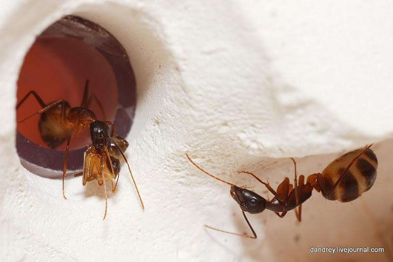 1892 Строительство искусственного муравейника