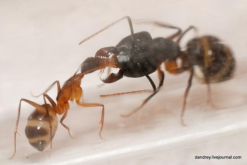 Домашний муравейник (63 фотографии), photo:37.