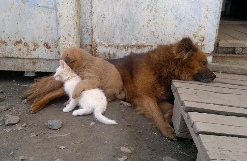 26072011008 Собака усыновила котенка