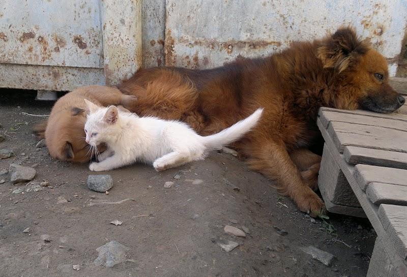 26072011009 Собака усыновила котенка