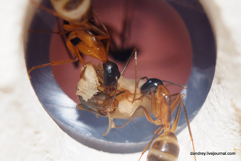 Домашний муравейник (63 фотографии), photo:47.