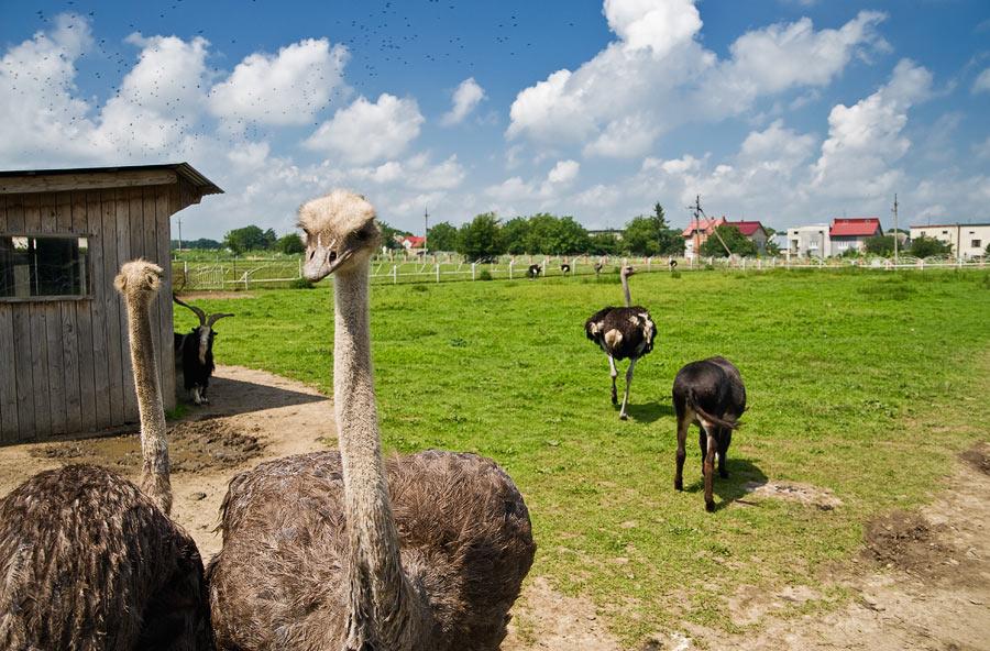 Алтайских фермеров призвали разводить страусов