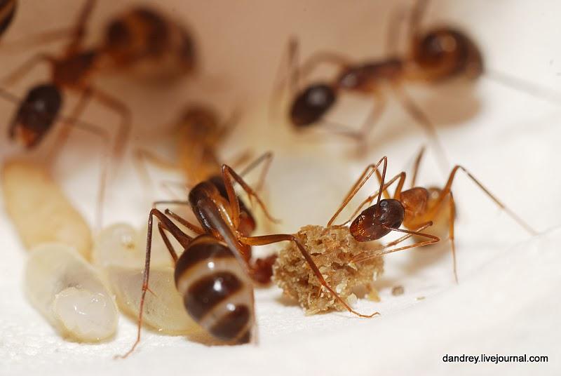Очень я доволен тем что мои муравьи стали есть кошачий корм.