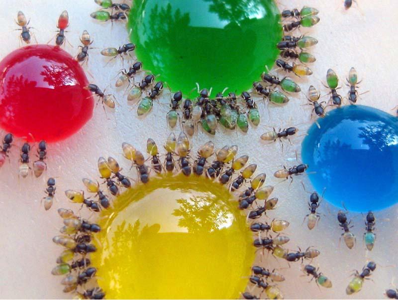 Разноцветные муравьи