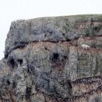 Отважный полярный медведь пролез по 100-метровой скале