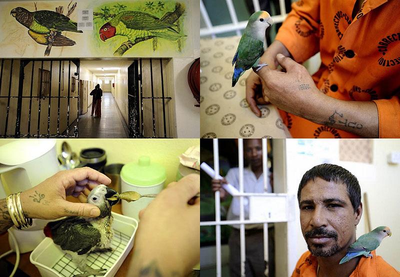 Закоренелых преступников перевоспитывают с помощью попугаев