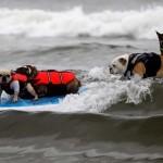 Соревнование по собачьему серфингу
