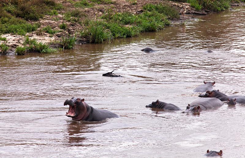 Бегемот спасает антилопу! Фотосафари в Кении.