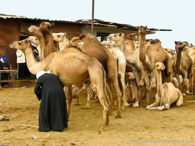 Биркаш: о самом крупном верблюжьем рынке в северной Африке