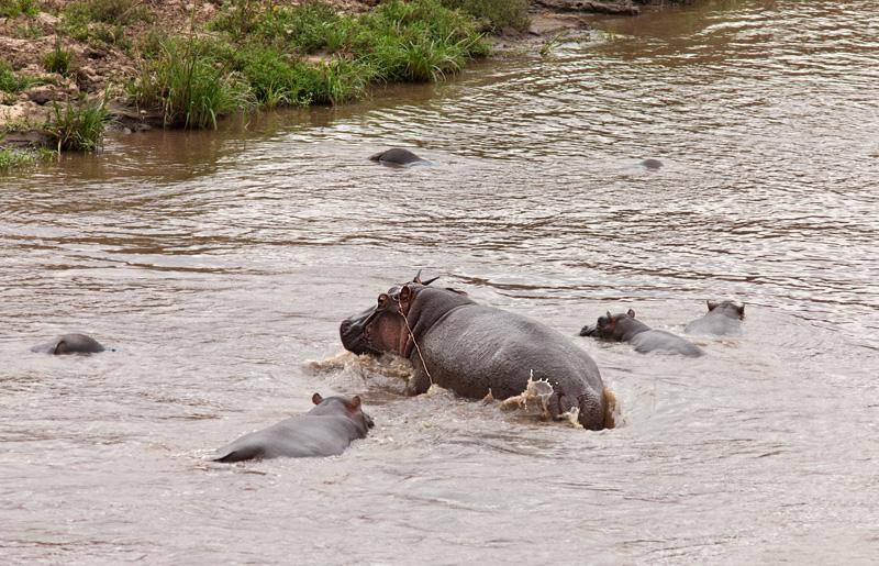Hippo menyelamatkan kijang!  Foto safari di Kenya.