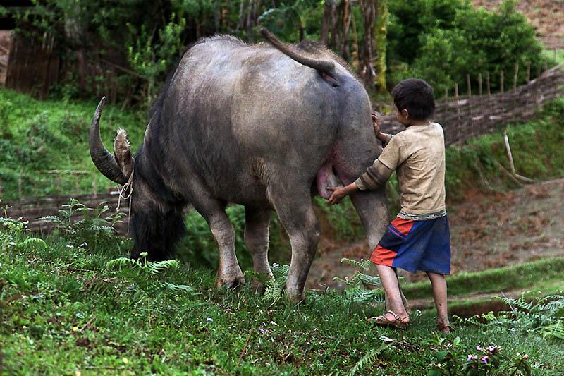 Мальчик и бык.