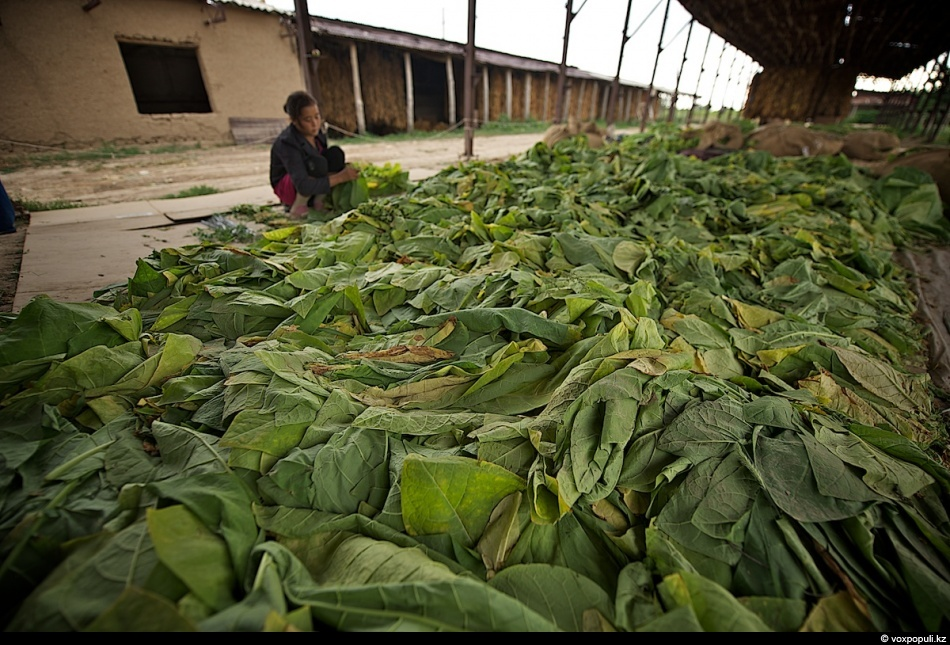 Cara menanam tembakau