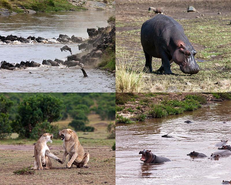 BIGPIC160 Бегемот спасает антилопу