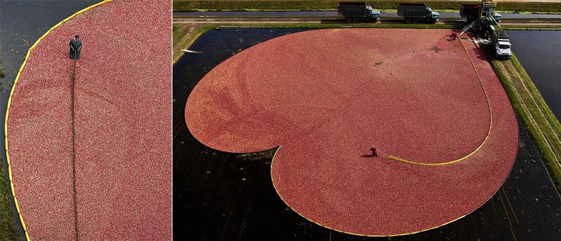 Сбор урожая клюквы в Висконсине