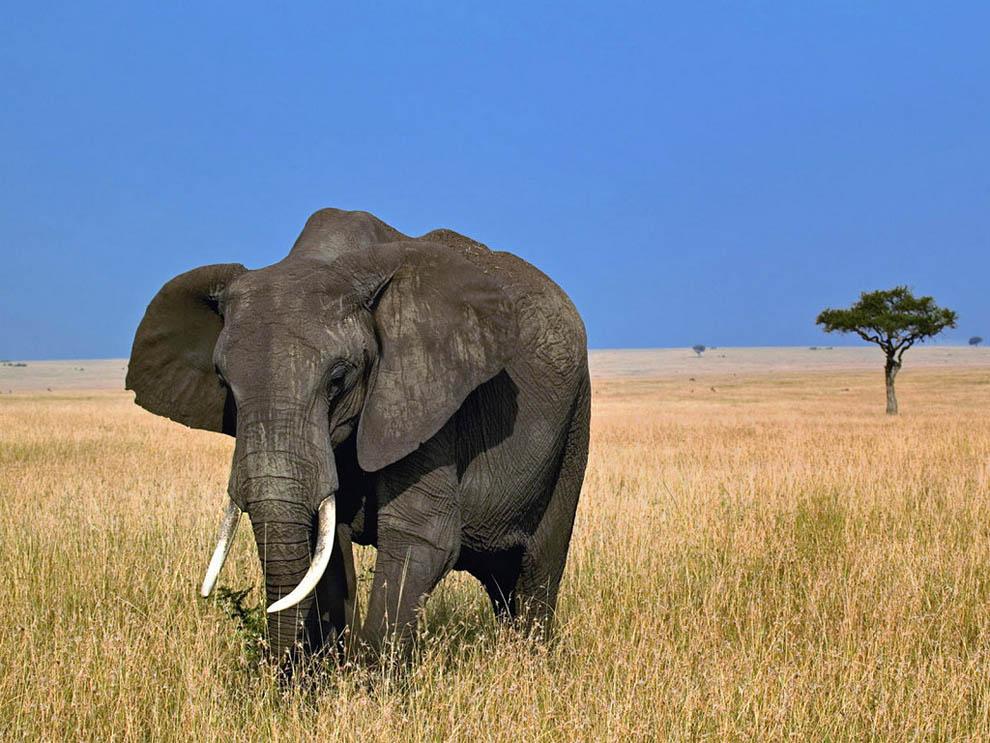 Top 10 animals01 hewan darat terbesar di dunia