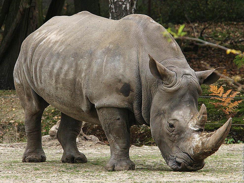 Top 10 animals03 hewan darat terbesar di dunia