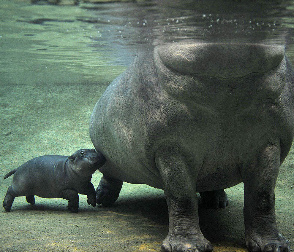 Top 10 animals04 hewan darat terbesar di dunia
