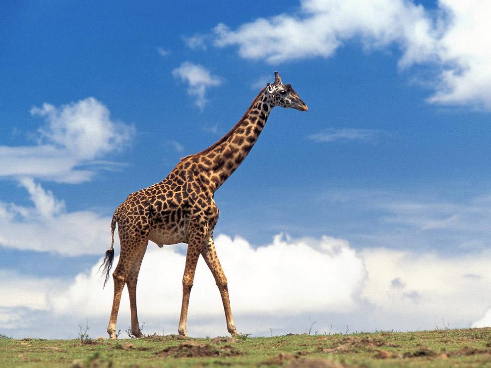 Top 10 animals05 hewan darat terbesar di dunia