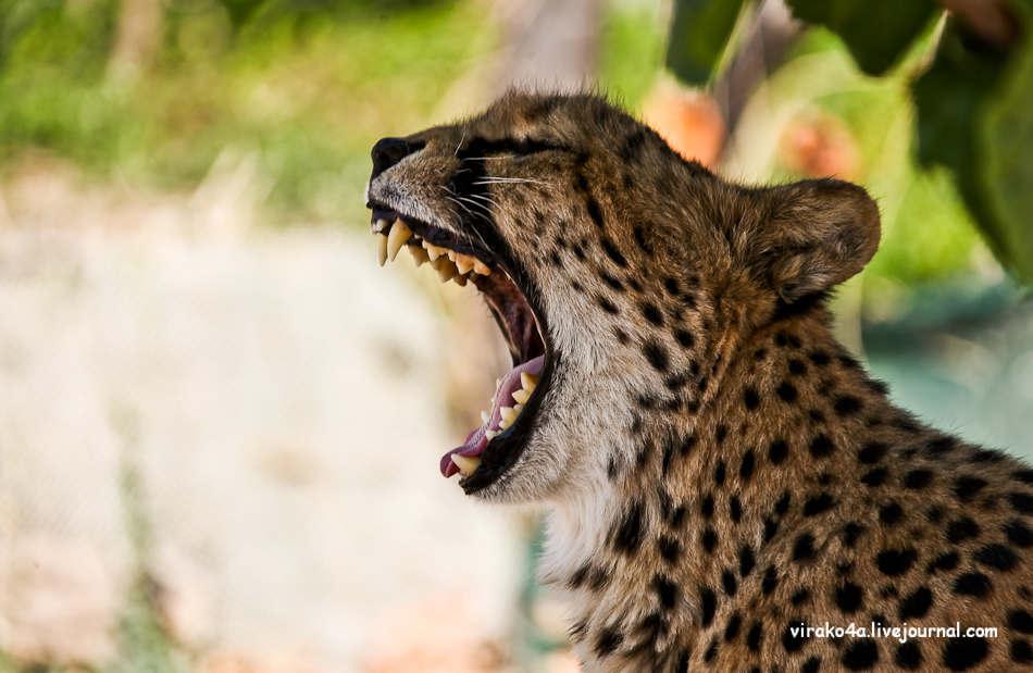 Удивительные фото гепардов