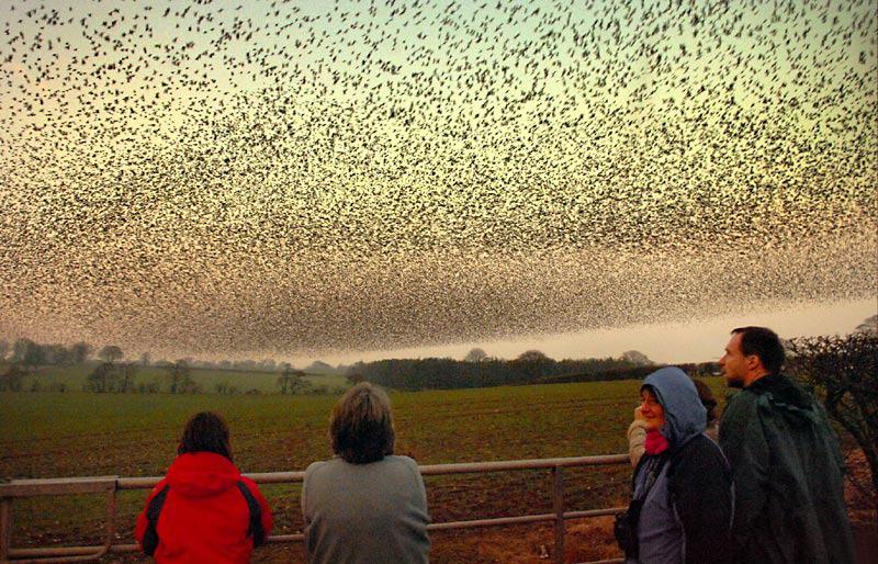 Воздушные танцы тысяч скворцов в небе над Шотландией