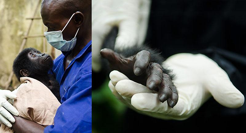Из рук браконьеров: спасение детеныша гориллы