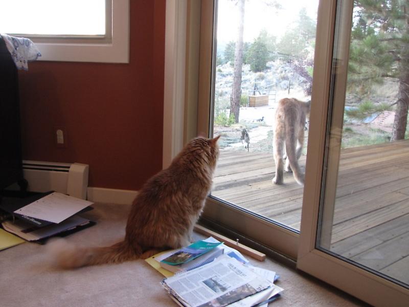 Пума пришла в гости к коту