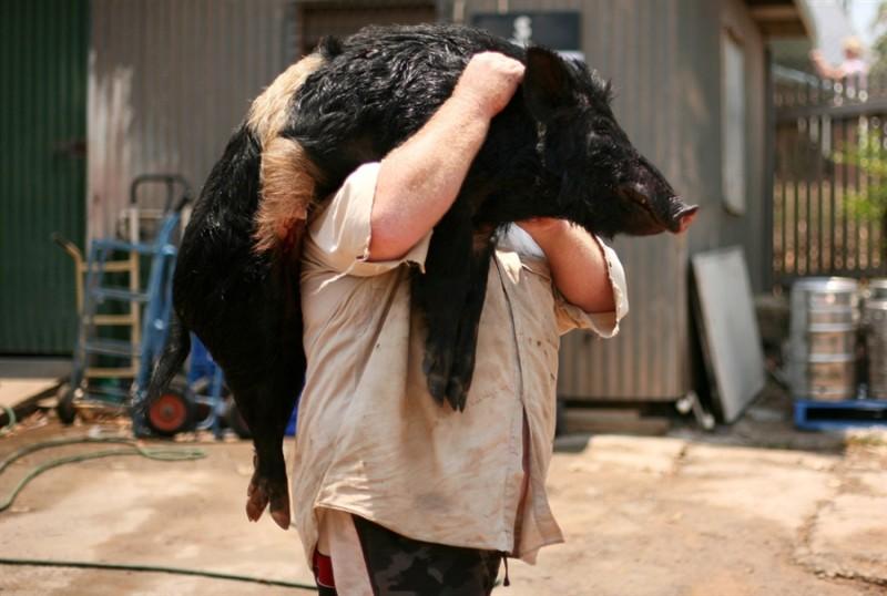 Массовая охота на диких свиней в Австралии