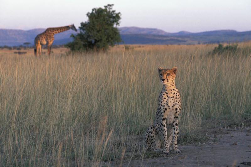 10150 Гепарды в заповеднике Масаи Мара