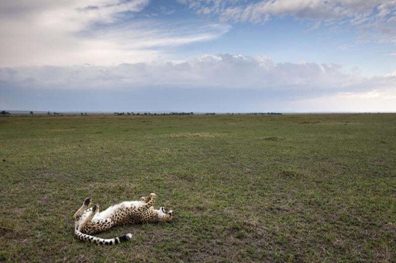 11179 Гепарды в заповеднике Масаи Мара