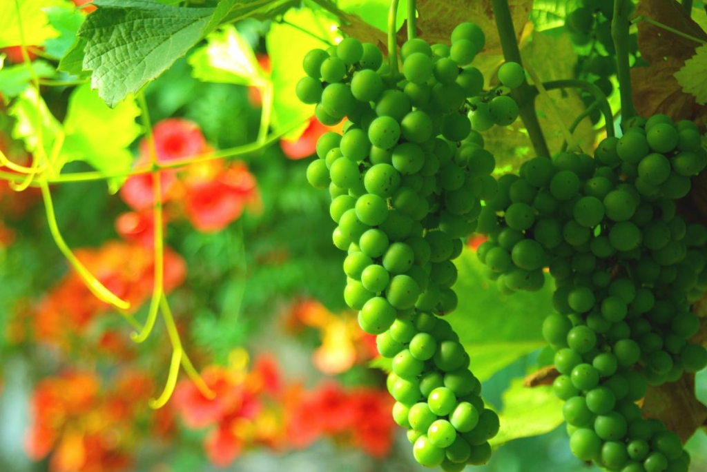 11190 Виноградники в фотографиях
