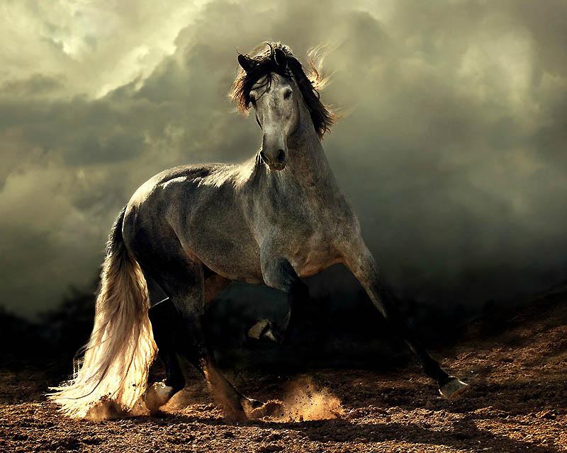 1171 Сказочная красота   арабские и андалузские лошади