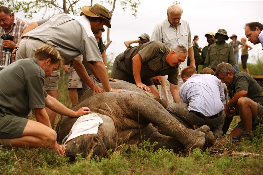 1174 Как перевезти носорога? На вертолете вверх тормашками!