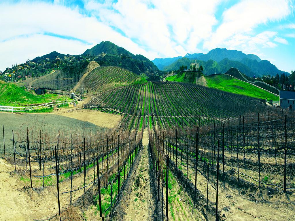 13147 Виноградники в фотографиях