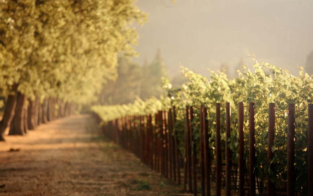 14137 Виноградники в фотографиях