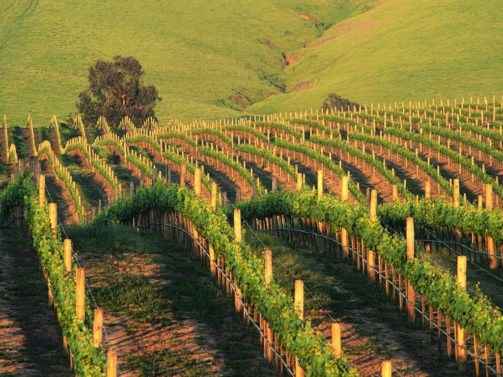16124 Виноградники в фотографиях