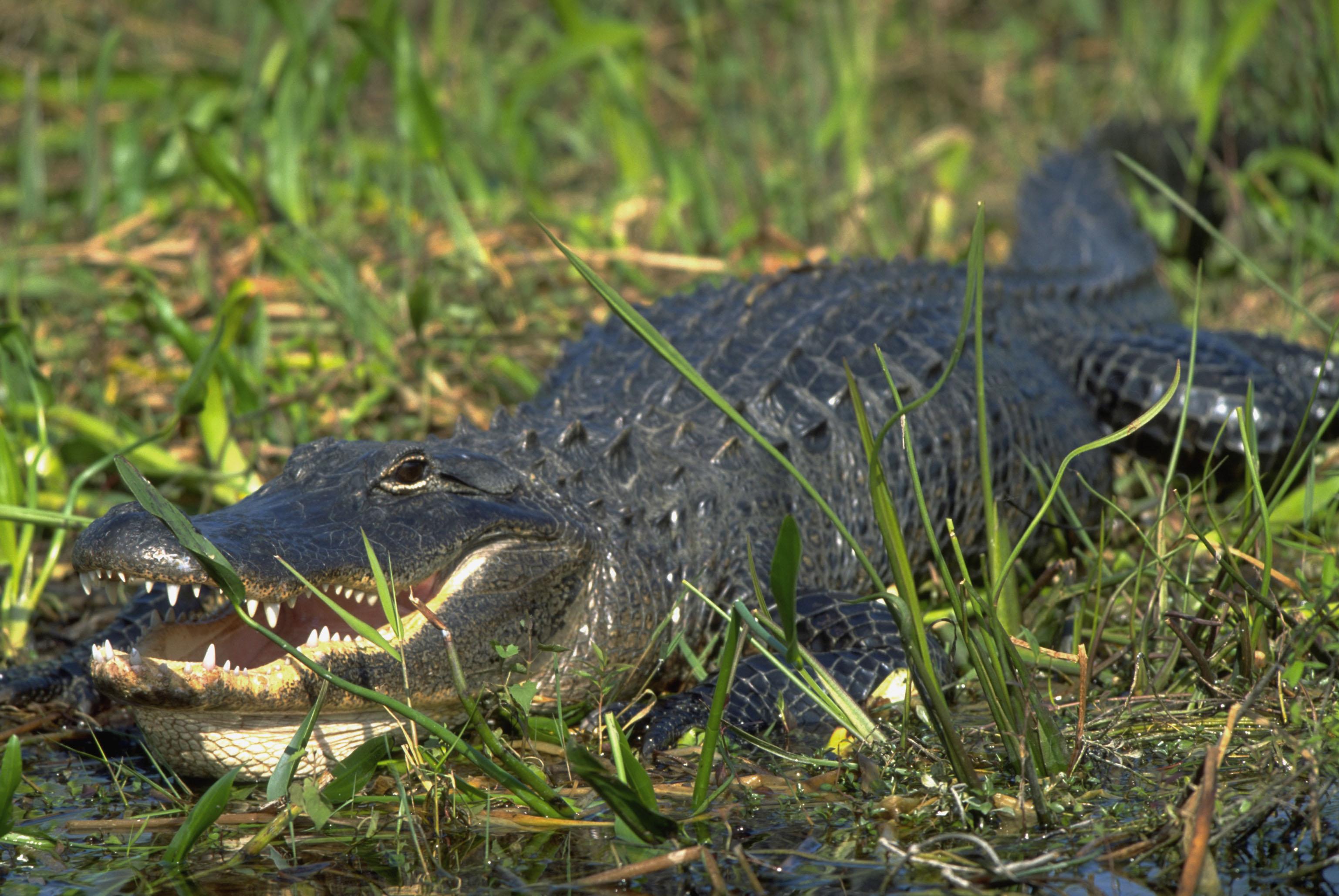 16. Также их можно отличить по форме морды: у настоящего крокодила морда...
