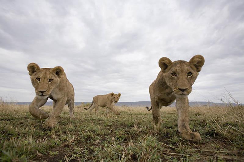 Львы на просторах заповедника Масаи-Мара
