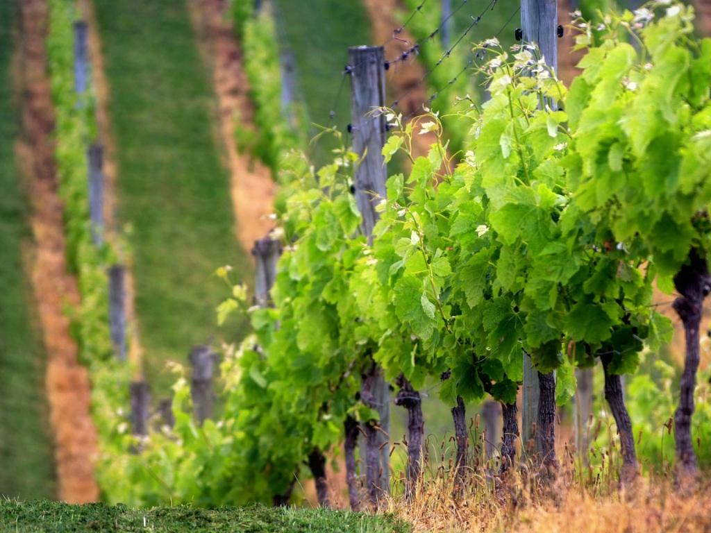 17118 Виноградники в фотографиях