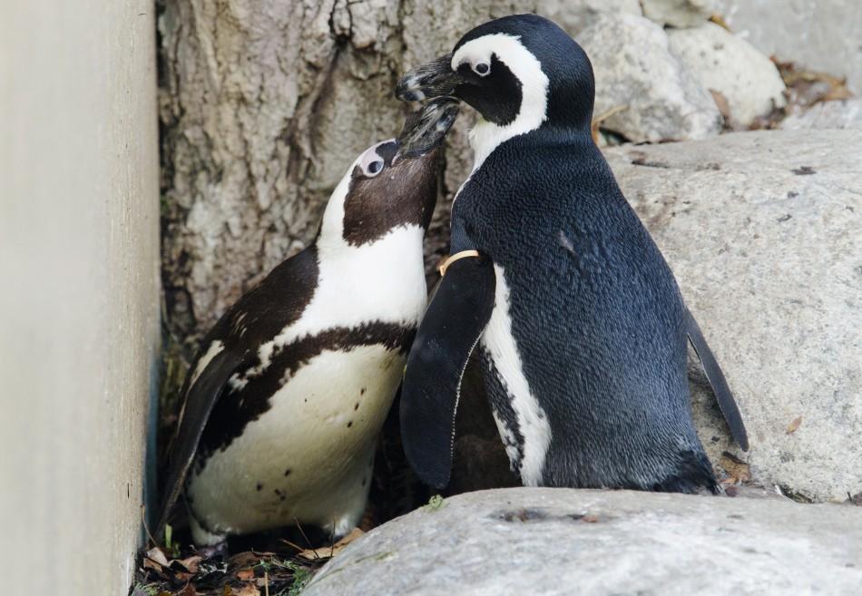 187542 gay penguin couple Канадский зоопарк разлучит пингвинов геев