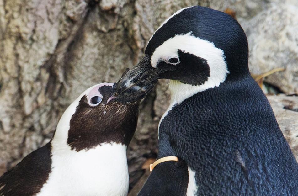 187545 gay penguin couple Канадский зоопарк разлучит пингвинов геев