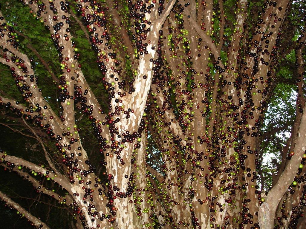 1998 Джаботикаба   удивительное дерево