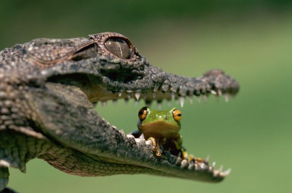 Обои для рабочего стола: Крокодилы