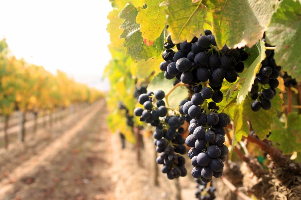 21142 Виноградники в фотографиях