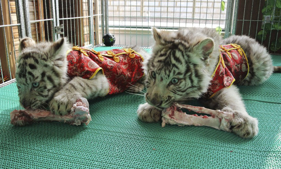 217617 bengali white tiger cubs dressed in traditional chinese clothes for th Подготовка к китайскому Новому году Дракона
