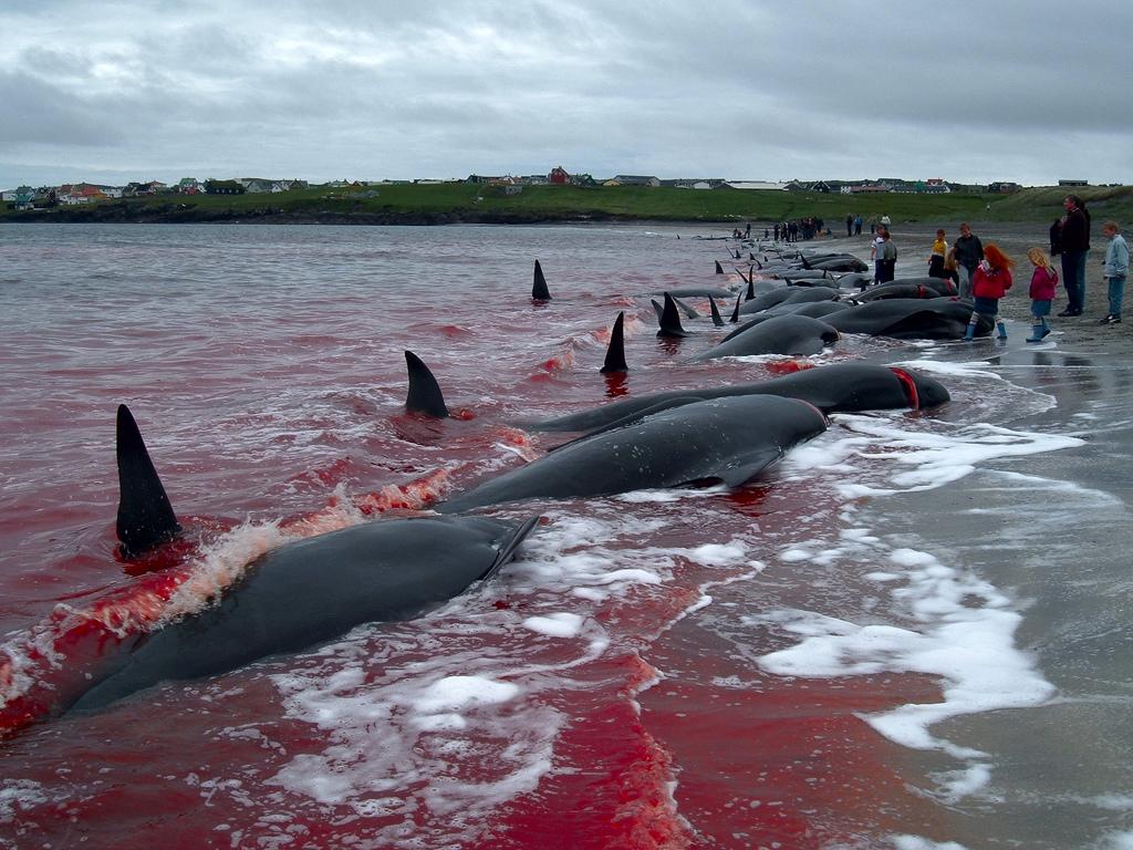 2388 Море крови на Фарерских островах