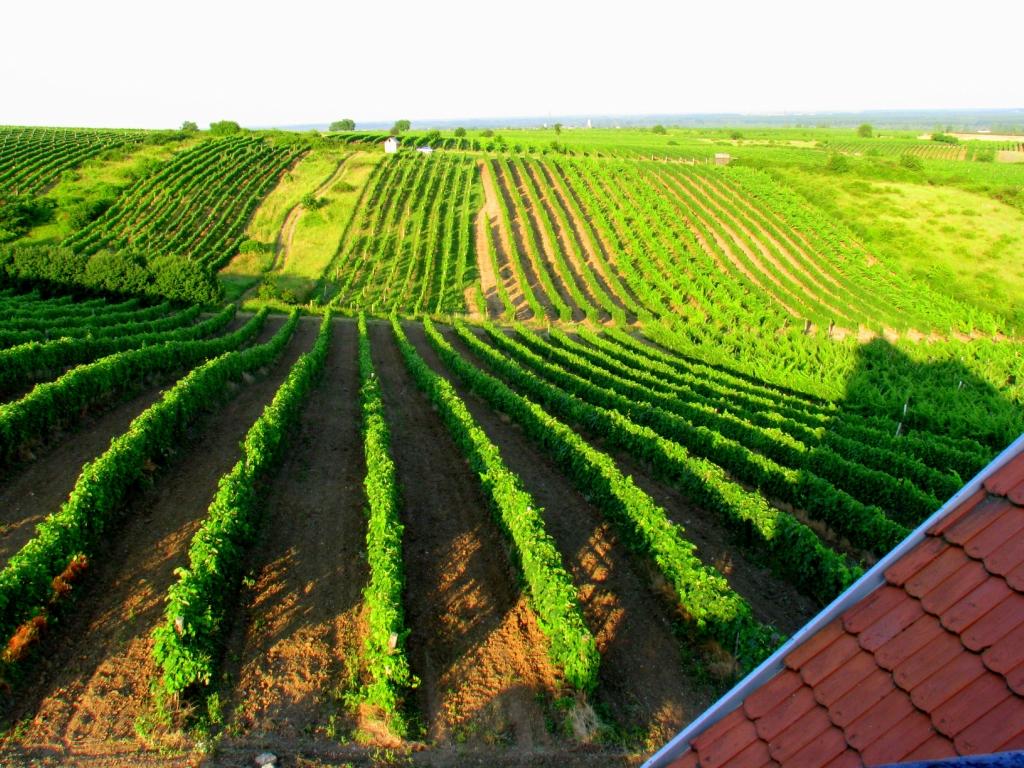 2399 Виноградники в фотографиях