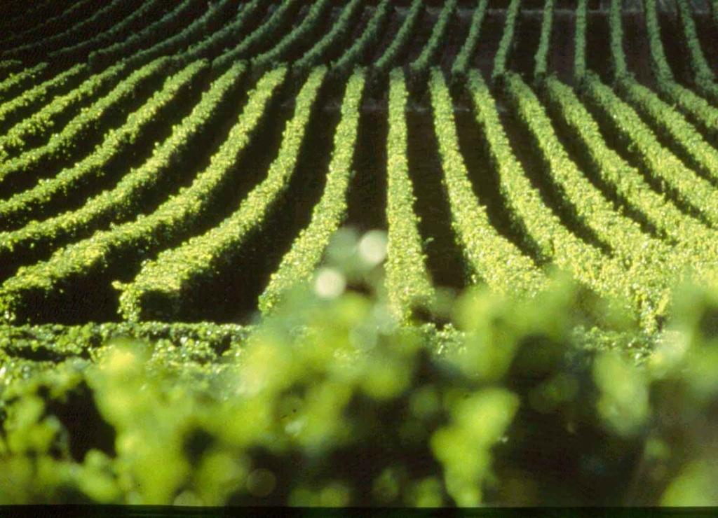 2567 Виноградники в фотографиях