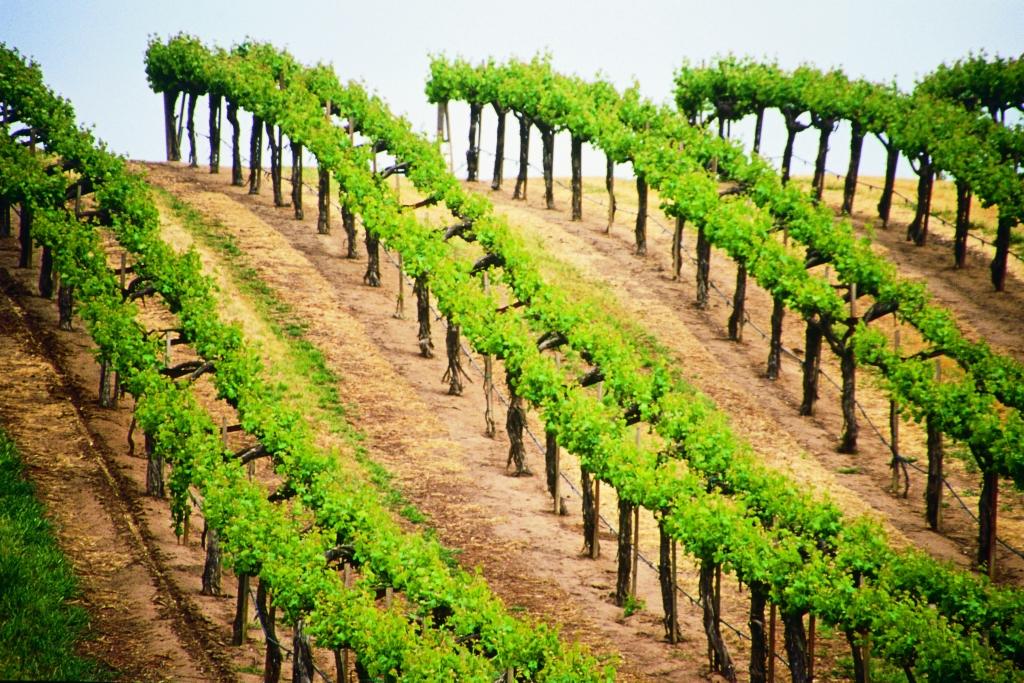 2663 Виноградники в фотографиях
