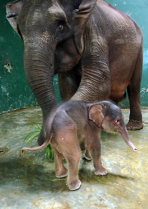 Девятидневный слоненок со своей 18